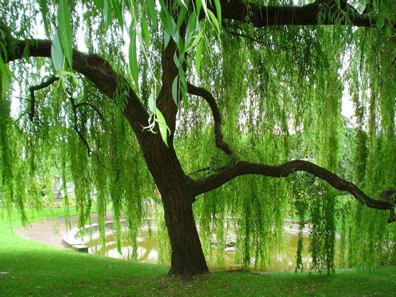 Проблемы выращивания фикуса, болезни и вредители